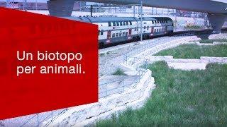 Download La zona dei binari di Zurigo è un biotopo per animali a rischio. Video