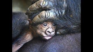 Download El nuevo bebé gorila nacido en BIOPARC Valencia es un macho y se llama Pepe Video