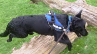 Download Labrador bandit getting to know the mob. Video