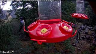 Download Male Anna's Hummingbird Defends Feeder Port - Nov. 17, 2016 Video
