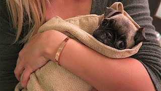 Download BABY PUGS FIRST BATH!! Video