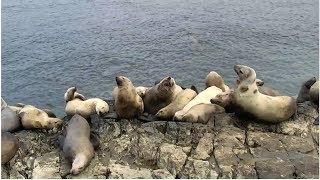 Download Sea Lion Cam | The Dodo Tranquil Tuesdays LIVE Video