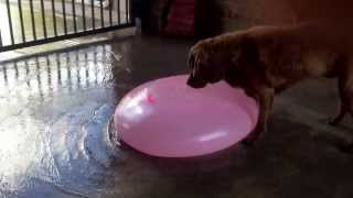 Download Gigantic water balloon popped by a dog Video