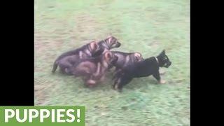 Download German Shepherd mom lovingly feeds her pups Video