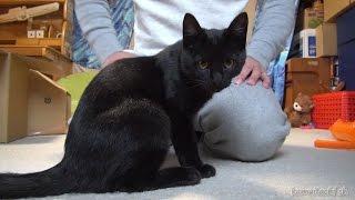 Download 隙間に入れなくなった黒子猫のクロ Kuro black kitten, Can not entering the gap of Seiza【瀬戸の黒猫日記】 Video