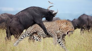Download LIVE: Strong Buffalo Suddenly Jump From Behind Makes Leopard Can Not Escape - Wild Animals Discovery Video