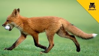 Download A Fox Steals A Man's Golf Ball And Has The Time Of His Life! Video