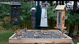 Download Purple Finches Have Their Turn In Ontario - Nov. 15, 2016 Video