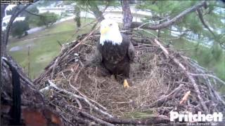 Download SWFLEagles~First Mating ON The Nest - Took Us All By Surprise!~11-8-14 Video