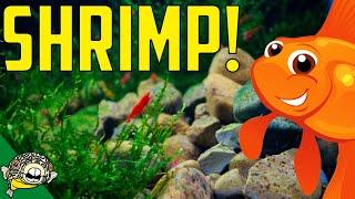 Download Talking Shrimp with Championship Shrimp Breeder LR Bretz's Aquatics Video