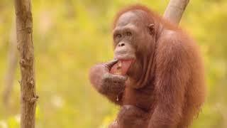 Download World Orangutan Day 2017! Video