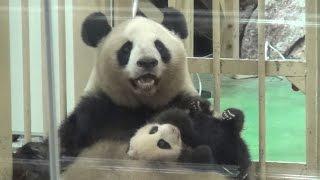 Download 【パンダ親子】🐼愛情いっぱいの抱っこ❤良浜ママ&結浜♪【生後74日目】  Giant panda -Rauhin&Yuihin- ☆a mother's love❤ Video
