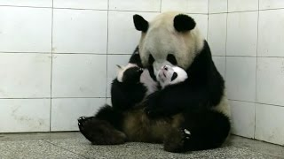 Download Baby Twin Pandas - Panda Babies - BBC Earth Video