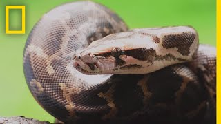 Download Pythons 101 | National Geographic Video