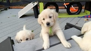 Download English Cream Golden Retriever Carrie 7 1/2 weeks old Video