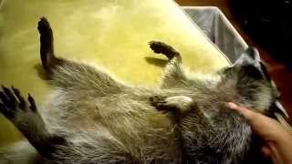 Download How to Get your pet raccoon to fall asleep. Adorable video. Video