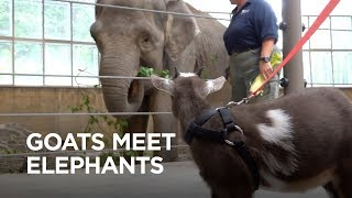 Download Tiny Goats Visit Elephants Video