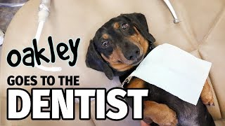 Download Ep 12: Oakley Goes to the Dentist (FINALE) - Cute Dachshund Video Video