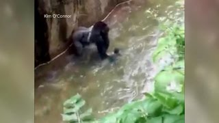 Download Baby Falls Into Zoo's Gorilla Cage Video
