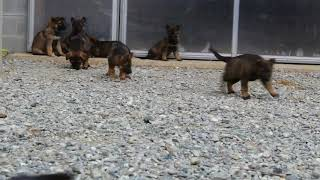 Download German Shepherd Puppies For Sale Levi Glick Video