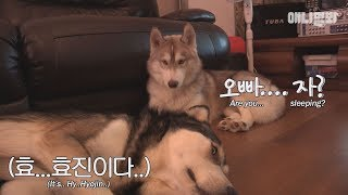 Download A Siberian Husky and an Australian Shepherd fighting for a girl. Video