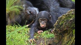 Download El bebé chimpancé COCO cumple 2 meses en BIOPARC Valencia (#ExperienciasBioparc) Video