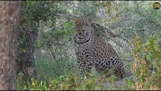 Download Safari Live : Hosana Male Leopard along with his dad Tingana on drive April 07, 2018 Video