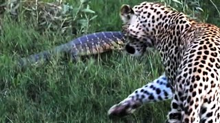 Download Monitor Lizard Tries To Give a Leopard a Slap - Latest Wildlife Sightings Video