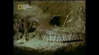 Download Goliath Tarantula vs Fer-de-lance Snake - جدال ديدني رتيل با مار Video