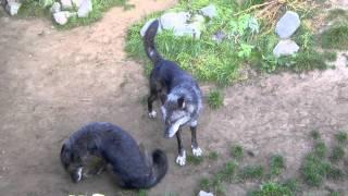 Download Timberwolf Unterwerfung Video