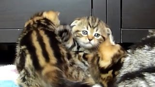 Download Cute Kittens meowing while playing Video