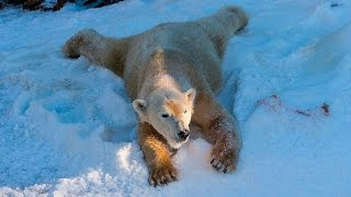 Download Polar Bears Play in Snow at the San Diego Zoo Video