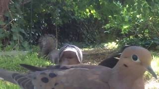 Download 2018 Critter Feeder Cam and Bird Feeder Cam Replay #182: Friday 05-25-2018 Video