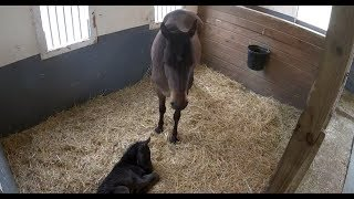 Download Mama Horse & 1-day-old foal relaxing | The Dodo LIVE Video