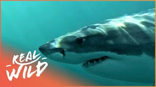 Download Secrets Of The Giant Sharks ! | Real Wild Documentary Video