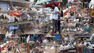 Download fancy pigeon in bangladesh | সবচেয়ে বড় কবুতরের হাট | কবুতর বাজার | pigeon videos | bangladeshi Video