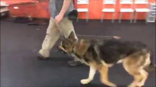 Download Training | Ecollar Steps to building communication | Solid K9 Training Dog Training Video