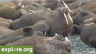 Download Walrus Nap Interrupted by Grumpy Neighbor (funny!) Video