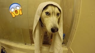 Download My Husky Doesn't Want a Bath! Video