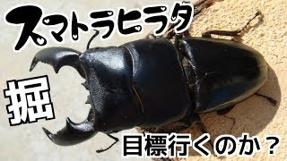 Download 【クワガタ カブトムシ生活】 スマトラヒラタ 成虫掘り出し クワガタ飼育 【stag beetle】 Video