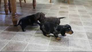 Download Dachshund Puppies For Sale Raylyn and Julia Martin Video