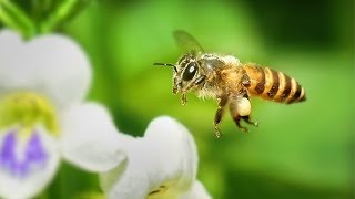 Download Bees flying in slow motion Video