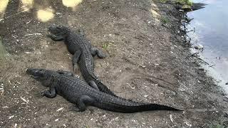 Download Alligator Swamp and Spoonbills Cam 08-27-2018 05:34:40 - 06:34:41 Video