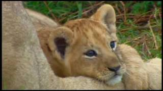 Download Lion, Leopard, and Cheetah Cubs Playing Video