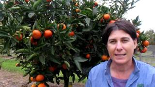 Download Freemont Mandarin DalesFruit.au Video