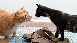 Download Introducing Cats to New Kittens for the First Time Video