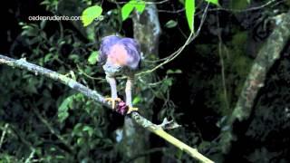 Download Birds of Borneo Video