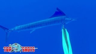 Download Spearfishing Sailfish - in the Coral Sea Video