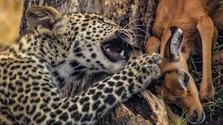 Download Leopard Mother Hunts for her Cub   BBC Earth Video