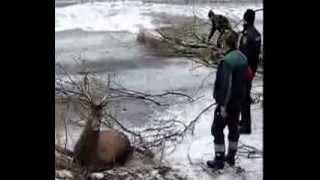 Download Akcja ratowania jeleni na Parsęcie - 1 Video